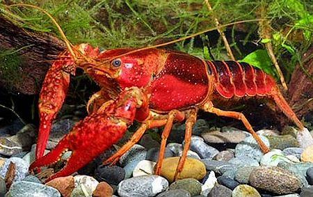 Болотный рак красный для аквариума
