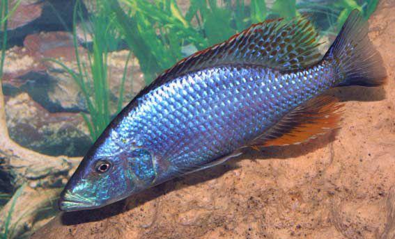 aquarium fish Compressiceps Cichlid, Malawi Eye-Biter Dimidiochromis ...