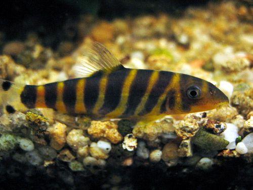 aquarium fish Tiger Loach, Bengal Loach Botia dario ?????????