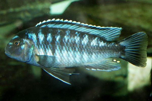 aquarium fish Johanni Cichlid Melanochromis johanni ?????????